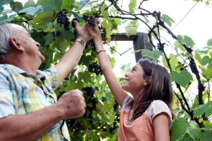 Abuelo y nieta recogiendo uvas