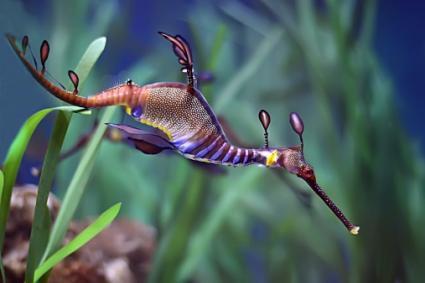 dragón de mar nadando