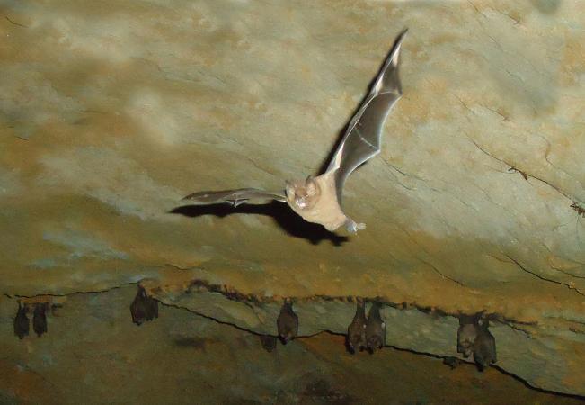 Murciélago volando en cueva