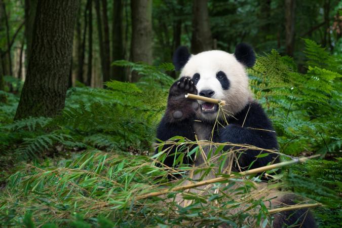 panda en el bosque