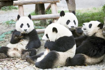 pandas sentados y comiendo