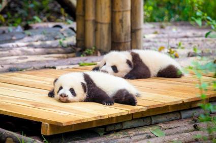pandas bebé acostados