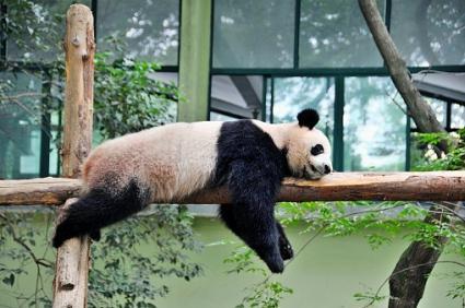 Panda durmiendo en viga de madera
