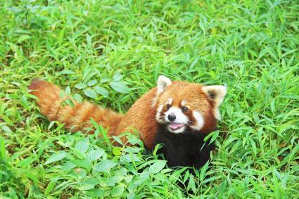 El panda rojo, Chengdu, China