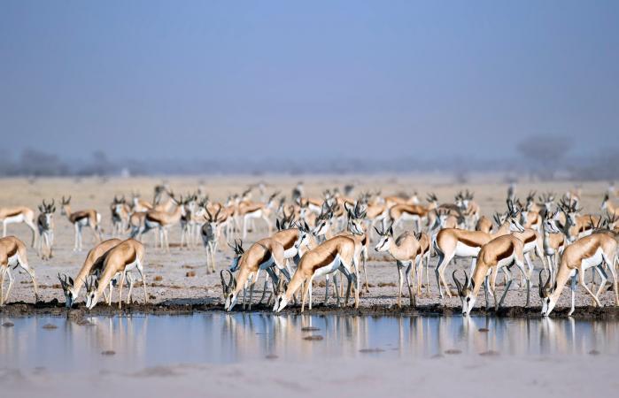 Gacelas bebiendo agua en el desierto