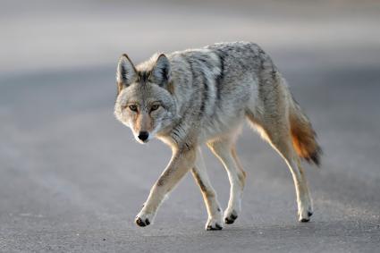 Coyote caminando cerca