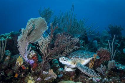tortuga marina en el arrecife