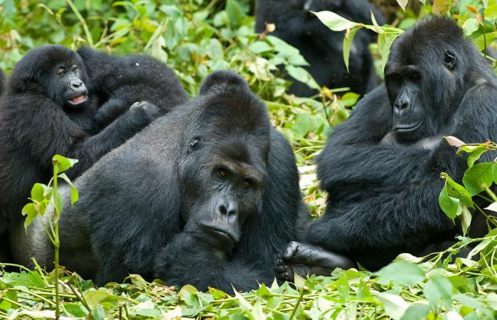 Familia de gorilas de las tierras bajas del este en las selvas del Congo