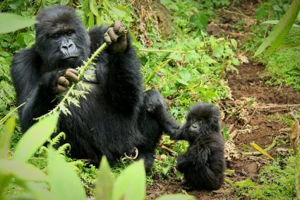 Gorila con bebés en el bosque