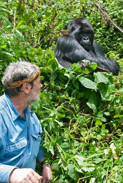 Hombre al lado de un gorila de montaña de espalda plateada
