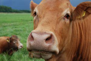 Brown cow face