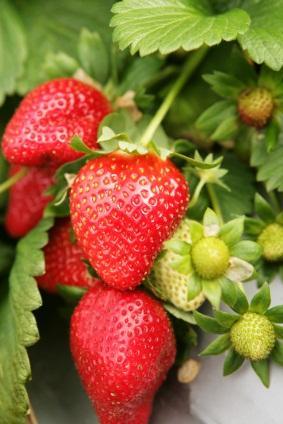 Organic Strawberry Plants