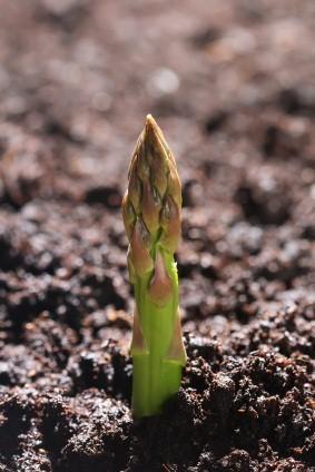 Organic Asparagus Plants
