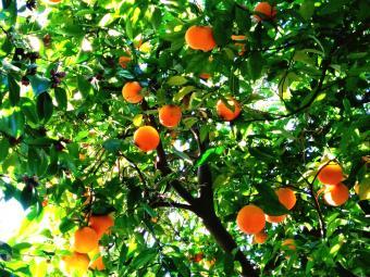 Organic Citrus Fertilizer