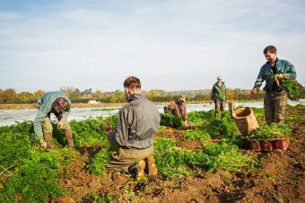Workers harvesting vegetables in the fields