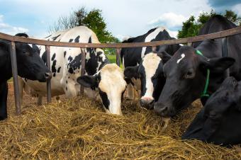 Cows feeding on hay bales