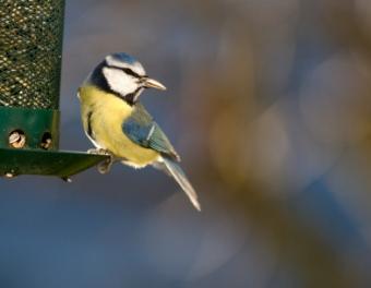 Blue_tit_bird.jpg