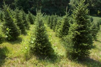 Artificial vs. Organic Christmas Trees