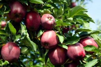 Organic Control of Fruit Tree Diseases
