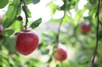 How to Find Organic Fruit Trees for Sale