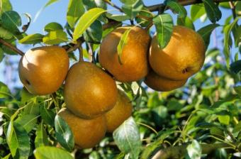 Organic Pest Control for Pear Trees