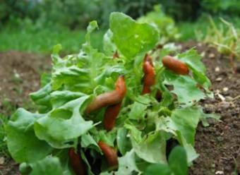 Organic Slug Control
