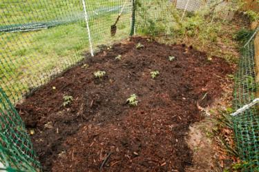backyard tomato plot