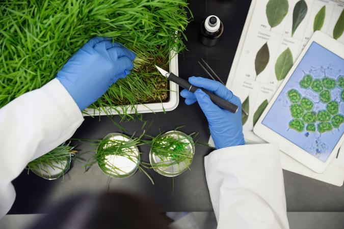 Scientist examining GMO plants in laboratory