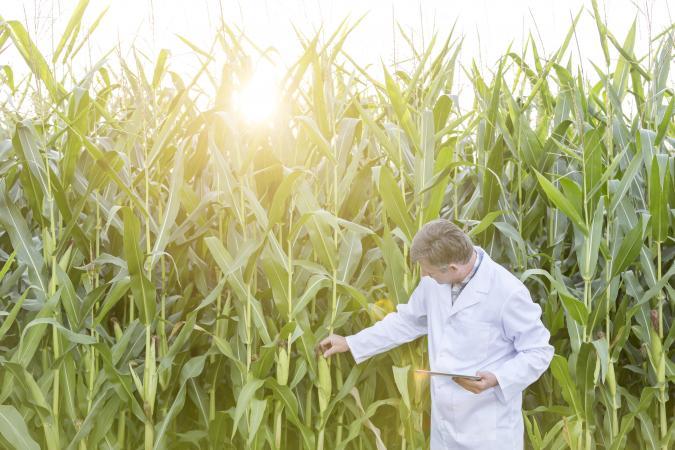 scientist looking at crops
