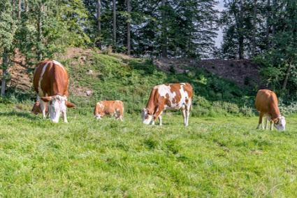 Free range cows in pasture
