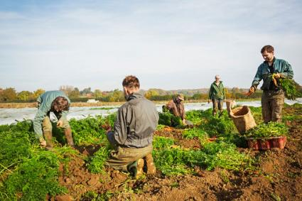 Workers harvesting vegetables in the fields
