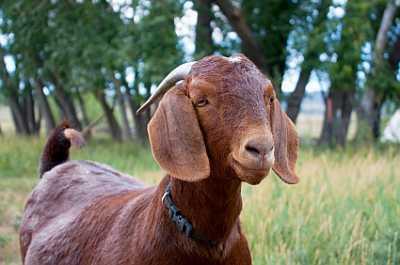 Organic Boer Goat