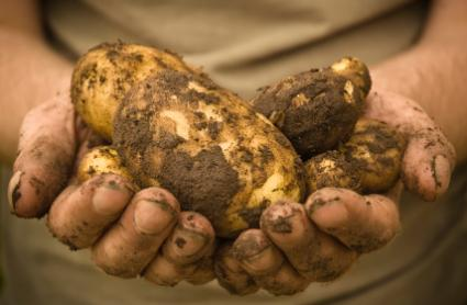 Organic potatoes are tasty and nutritious.