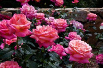 Fish products are great organic foods for your roses.