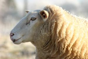 Wool comes from sheep