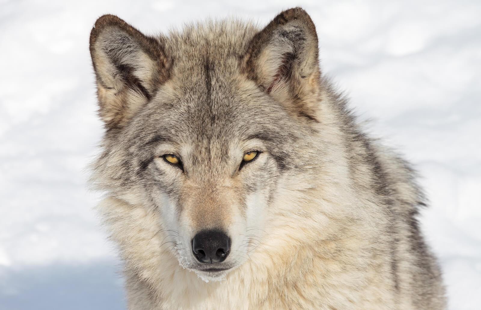 Wolf Spirit Animal Meaning | LoveToKnow