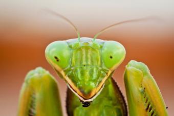 https://cf.ltkcdn.net/paranormal/images/slide/215221-704x469-Preying-Mantis.jpg