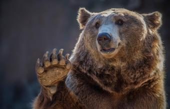 What Does It Mean if a Bear Is Your Spirit Animal?