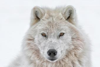 White Wolf Spirit Animal