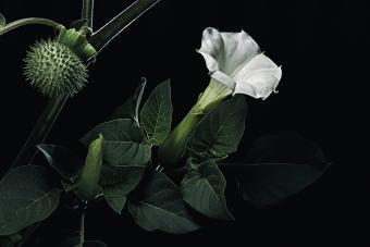 Datura inoxia (downy thorn apple, desert thornapple, angel's trumpet, sacred datura)