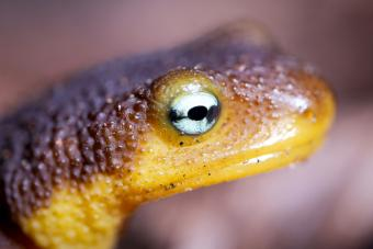 What Is Eye of Newt (and How Is It Used in Magic)?