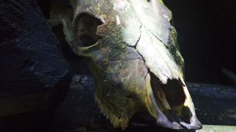 New Jersey Devil skull
