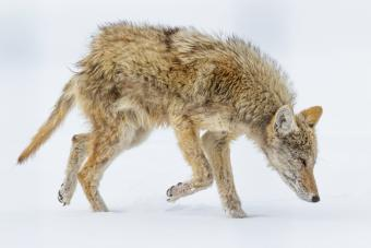 Wild Coyote suffering from Mange