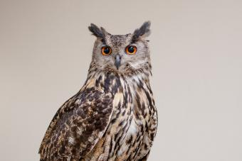 What Does an Owl Spirit Animal Mean?