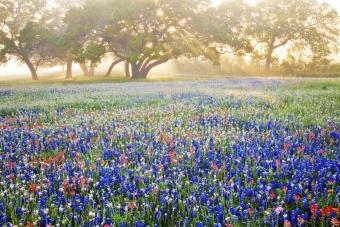 Oak trees and wildflowers in fog with streaming sun rays