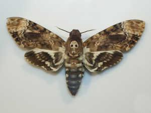 Moth closeup