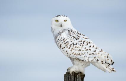 White Owl Perching