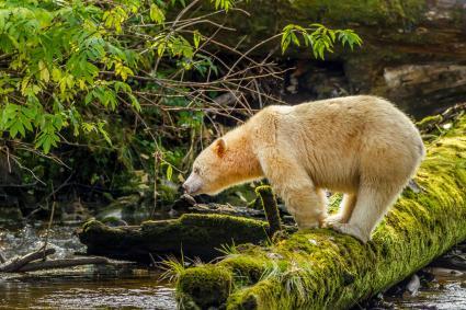 Kermode Bear (Albino)