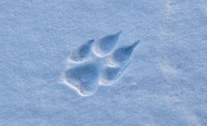 Wolf print in the snow