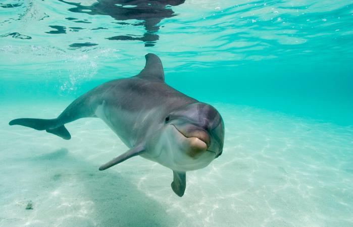Bottlenose Dolphin in Caribbean Sea